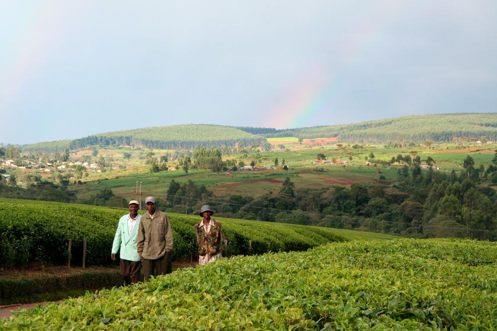 Ouvriers de Unilever 's Chericho Tea Estate