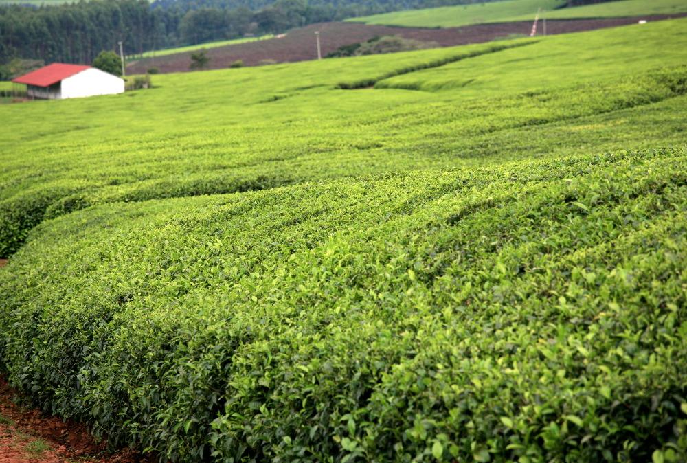 Des plantations de Lipton...