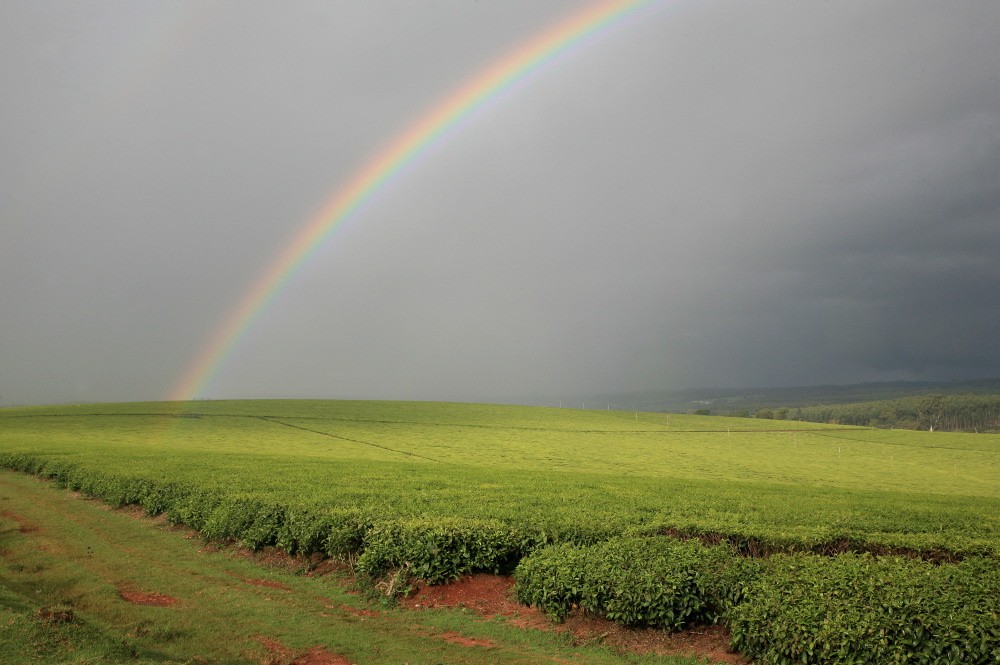 Arc-en-ciel sur les plantations de Unilever 's Chericho Tea Estate