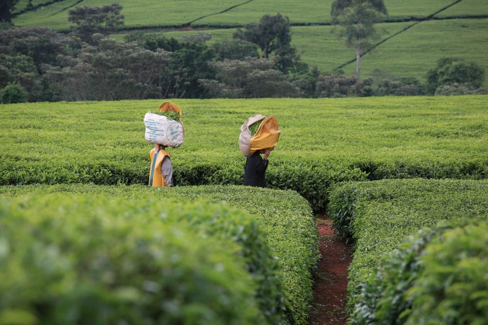 Cueilleuses de thé, Unilever 's Chericho Tea Estate