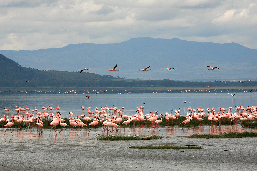 Le spectacle des flamands au PN de Nakuru