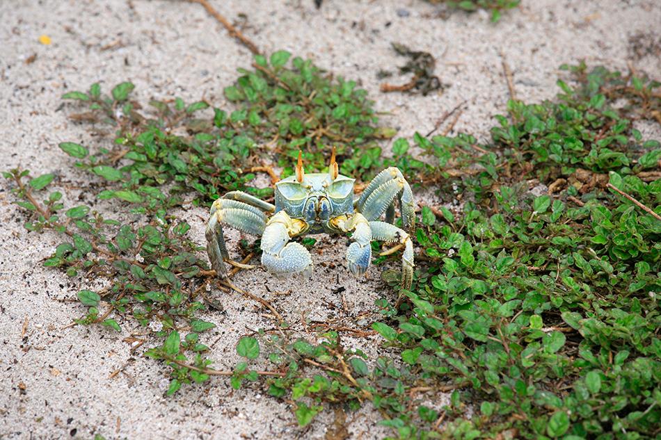 Crabe sur l'île Aride, Sychelles