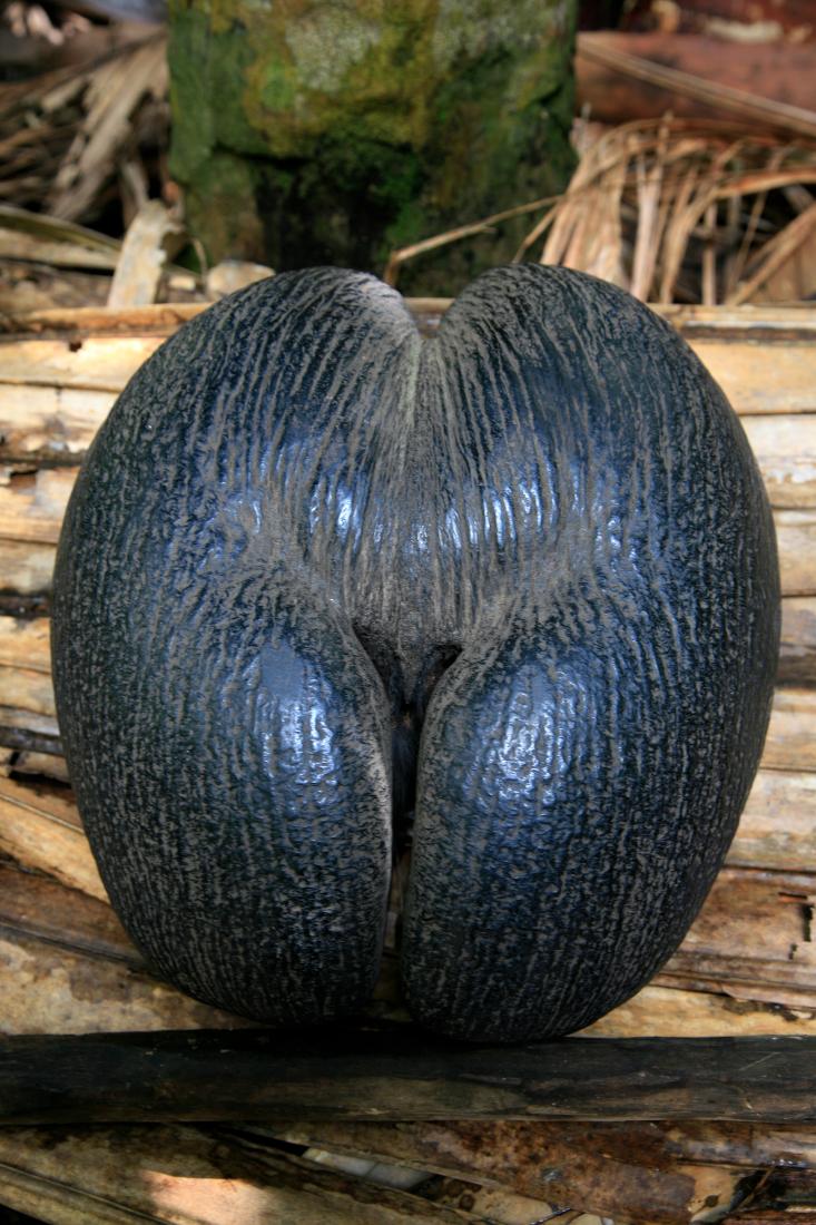 """""""Coco fesse"""", le fruit du Coco-de-Mer, emblème des Seychelles"""