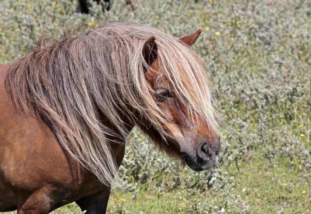 Poneys Shetland à Ter Yde
