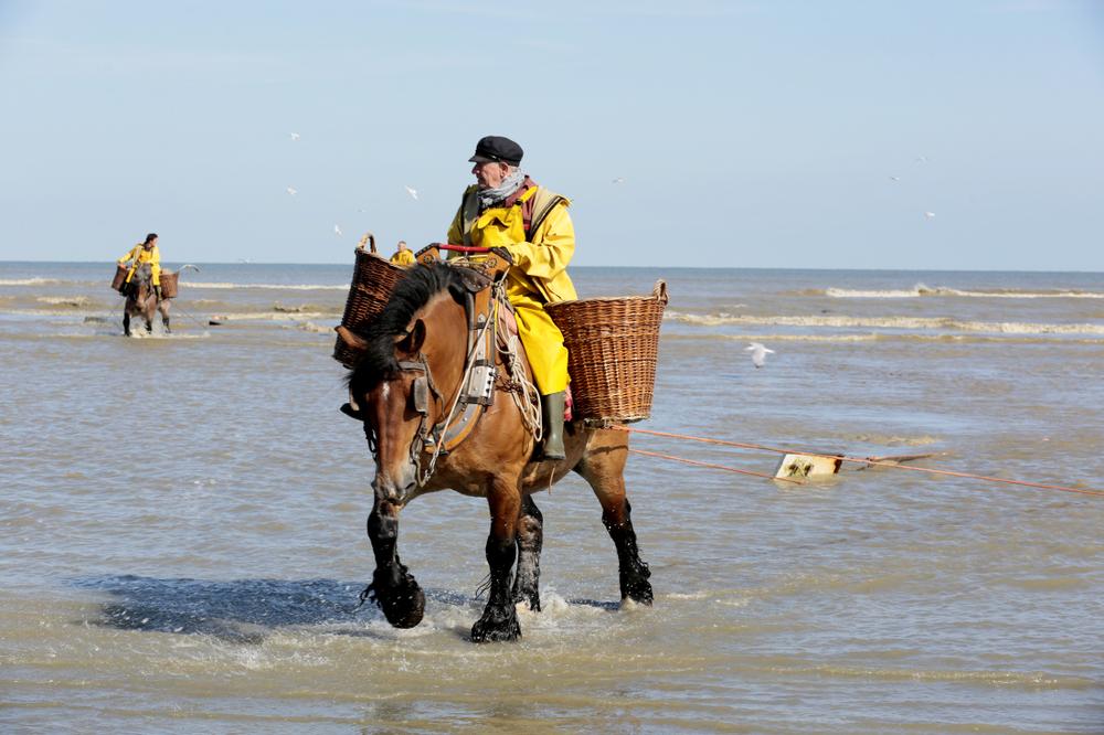 Les pêcheurs de crevettes à cheval...