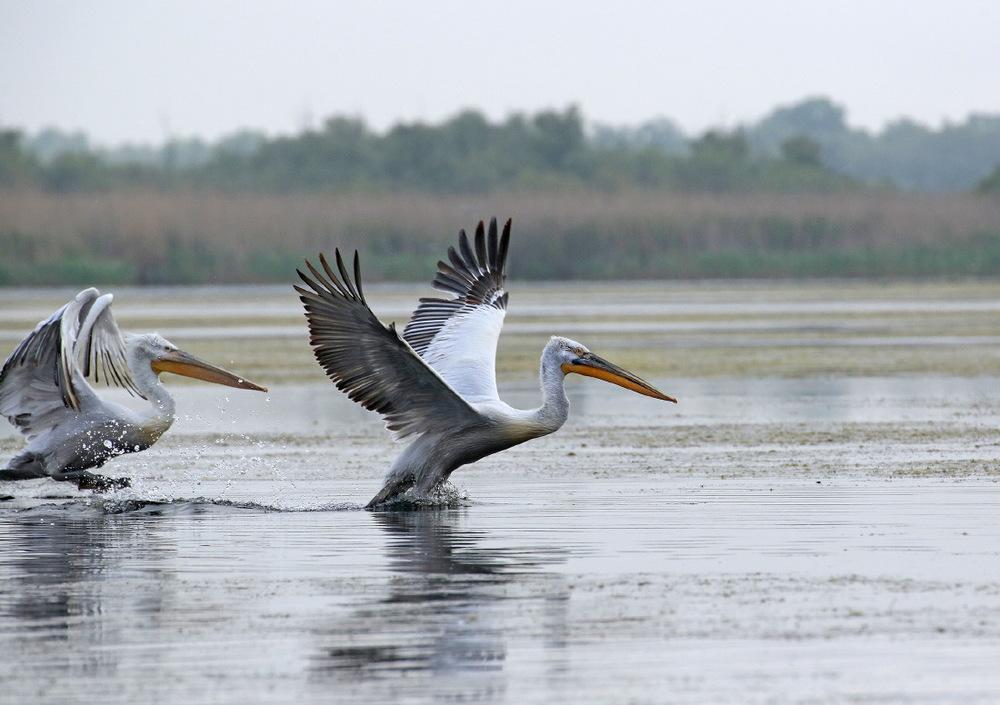Envol de pélicans, delta du Danube, Roumanie