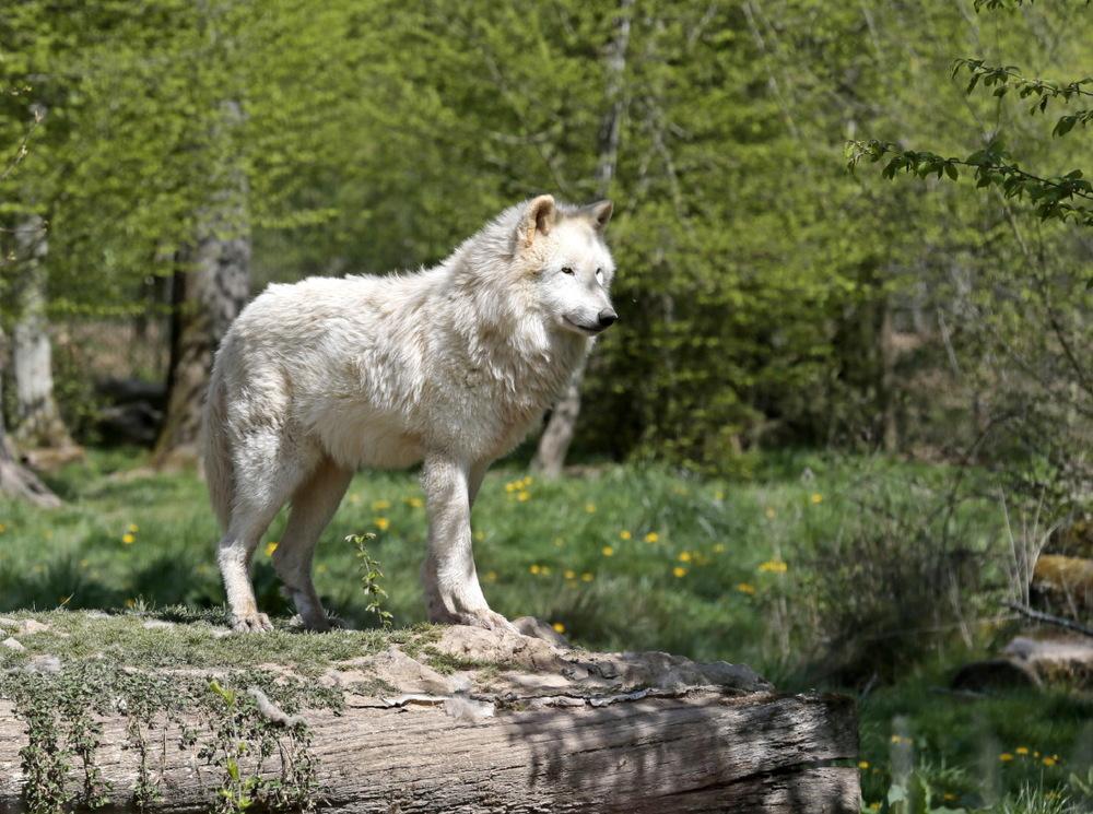 Loup blanc d'Alaska