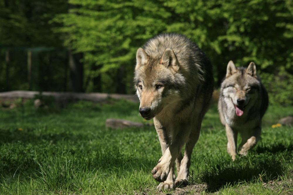 Loups gris d'Europe