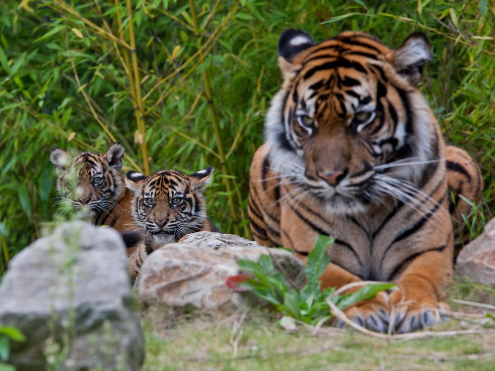 Les jumeaux cet été avant la naissance du petit dernier... © D.R. Burgers Zoo
