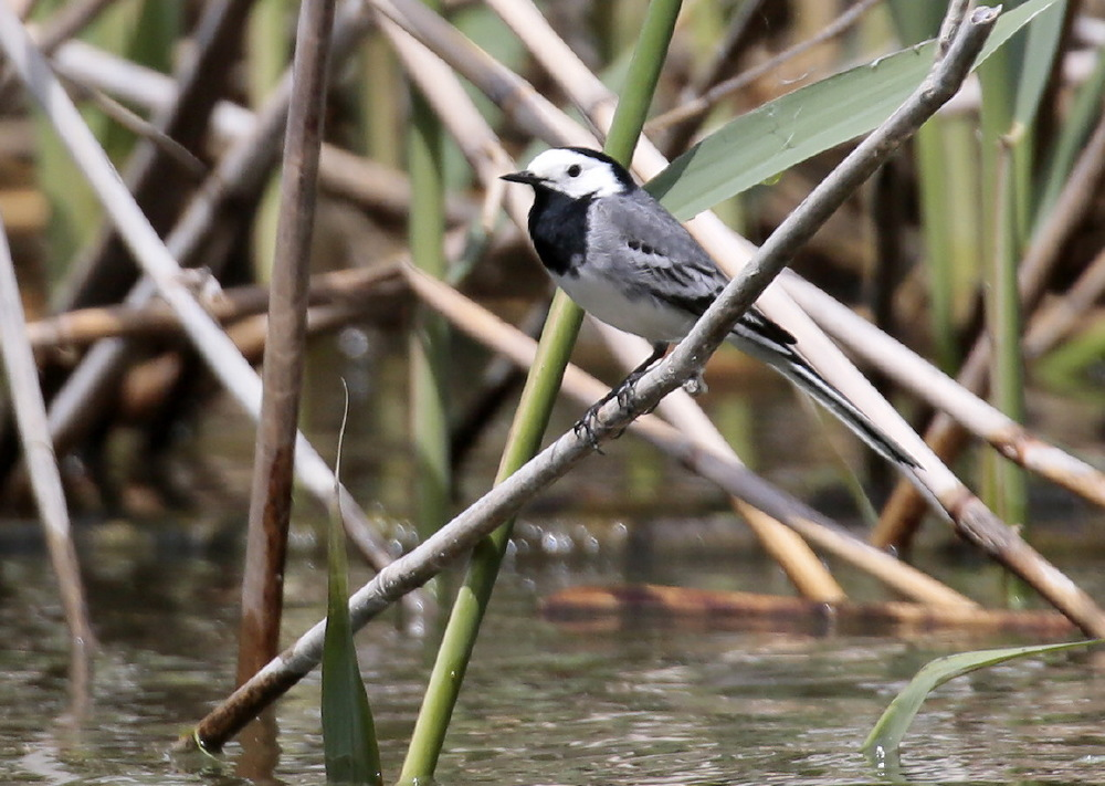 RO.DanubeD.bird_JJS9817.JPG