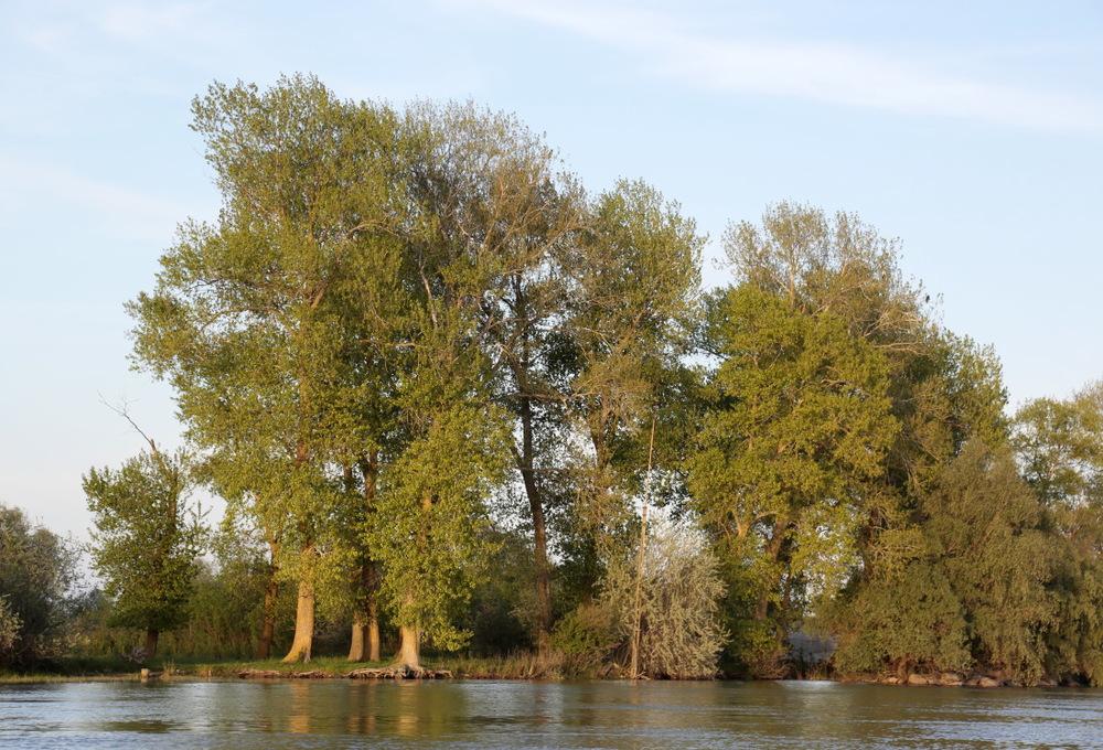 Les grands saules sur le bord des lacs