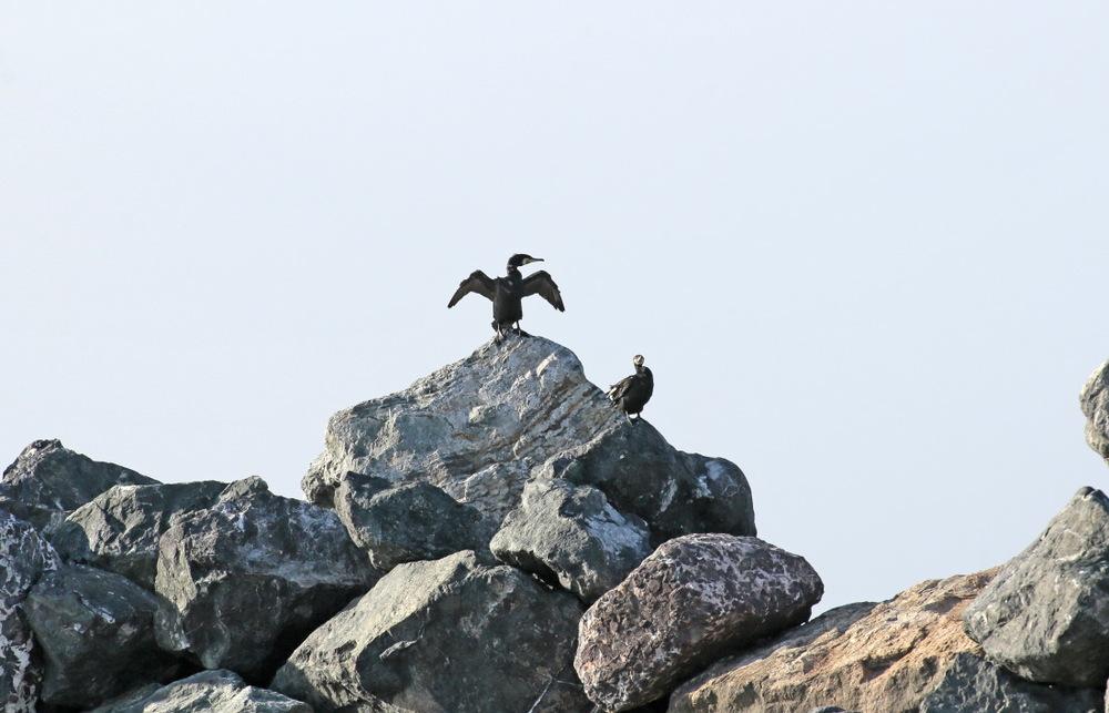 Cormoran sèche ses ailes sur le chenal de Salina