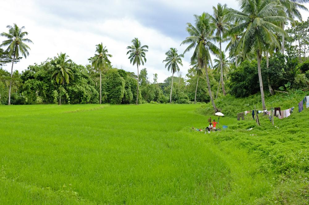 Rizières de Palawan, Philippines