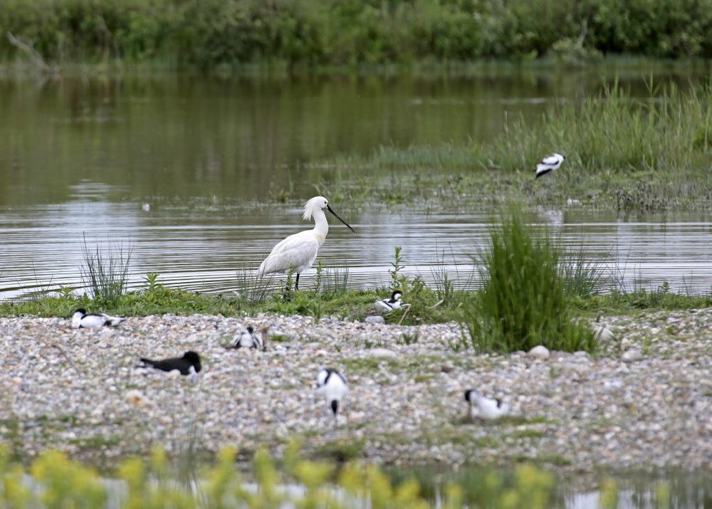 Spatule blanche parmi gravelots & sternes... Parc du Marquenterre