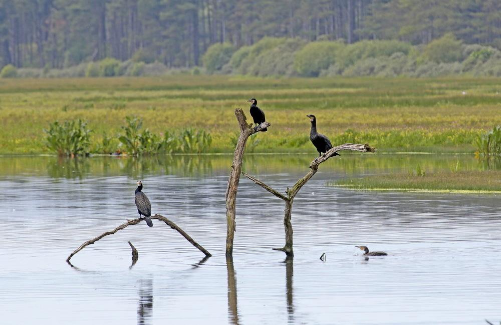 Grand cormorans au Parc du Marquenterre