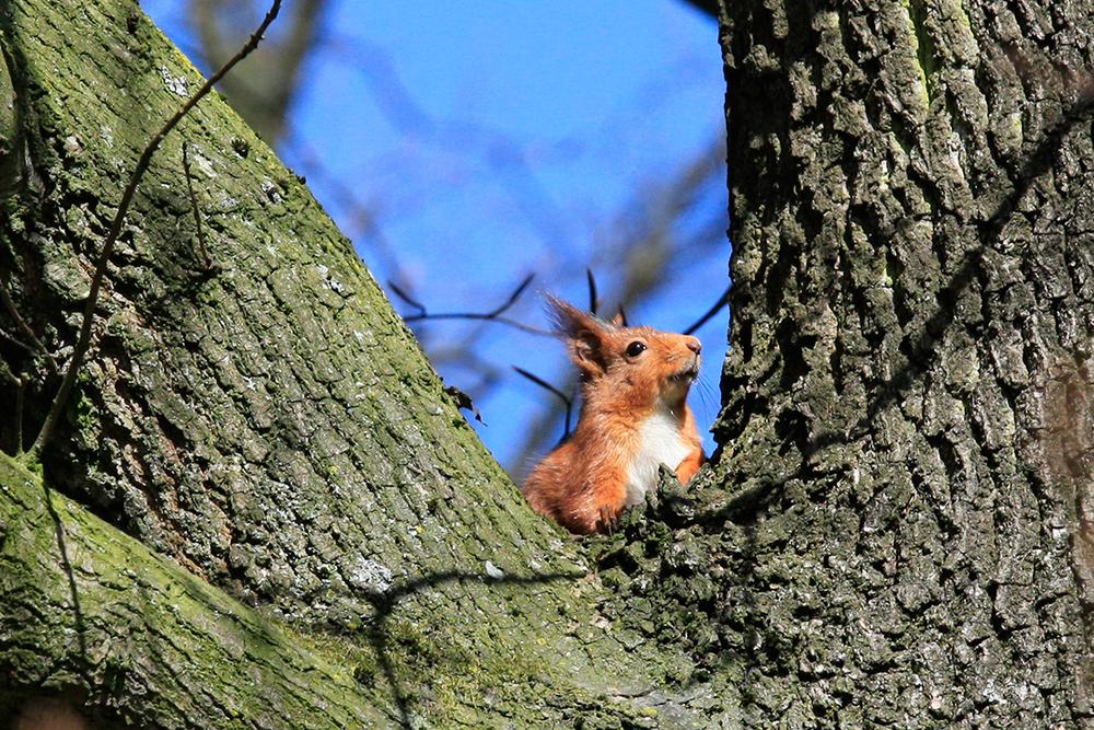Nos écureuils roux du parc de Wolvendael