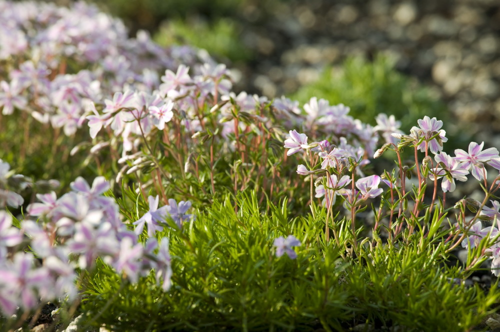 Les Phlox sont les premiers à fleurir au printemps