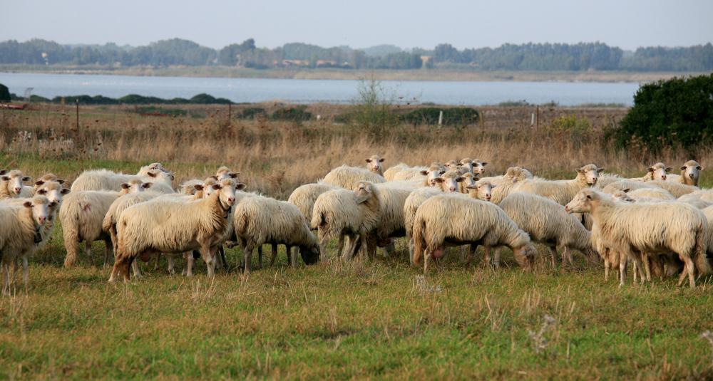 Moutons sardes, municipalité d'Arbus (Costa Verde)