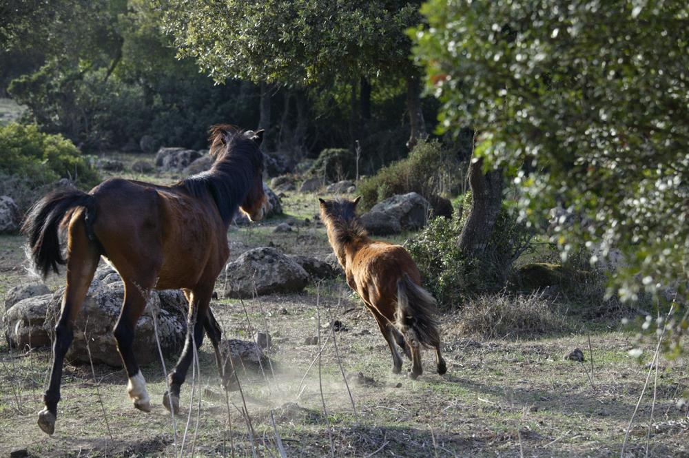 Chevaux sauvages, plateau Giara du Gesturi (Barumini)