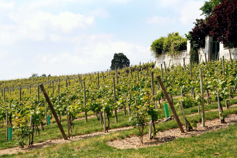 Vignobles à Langeais, Val de Loire
