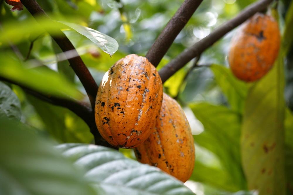 Cacao à la ferme des épices Sahakari, Goa