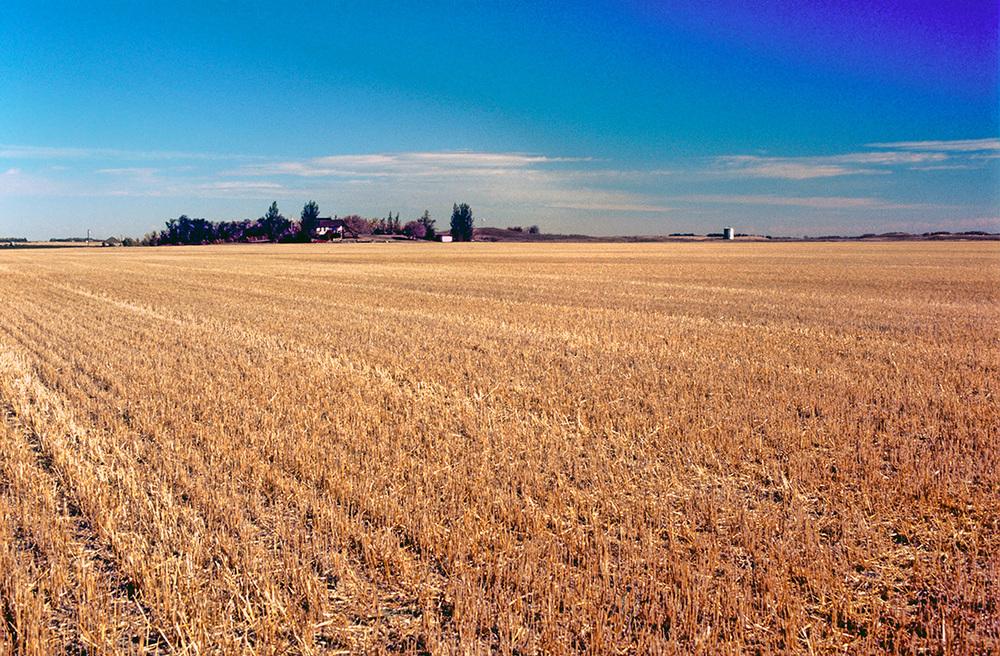 L'immensité des champs couleur d'or