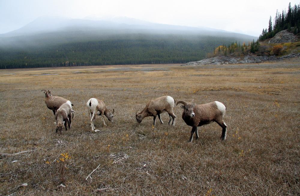 Chèvres sauvages © JJ Serol