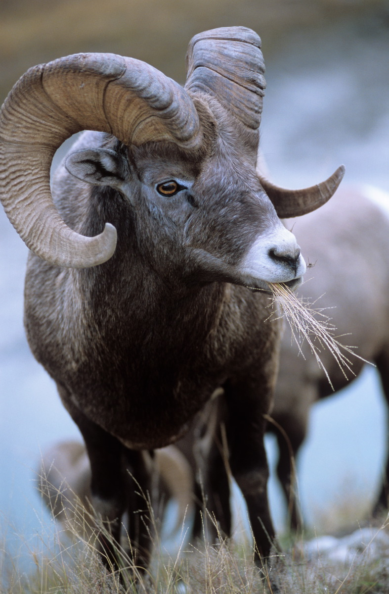 Mouflon canadien © S.Dauwe