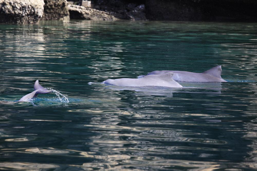 La valse des dauphins dans les fjords de Musandam, Oman