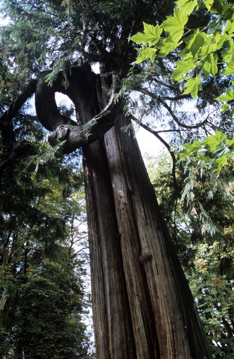 Sequoia, Stanley Park © S.Dauwe