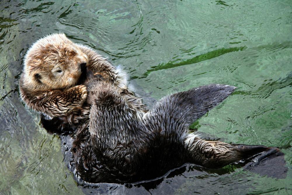 Loutre de mer, Vancouver Aquarium