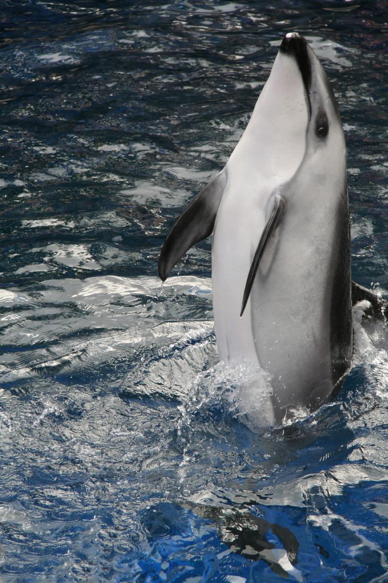 Le show des orques, Vancouver Aquarium