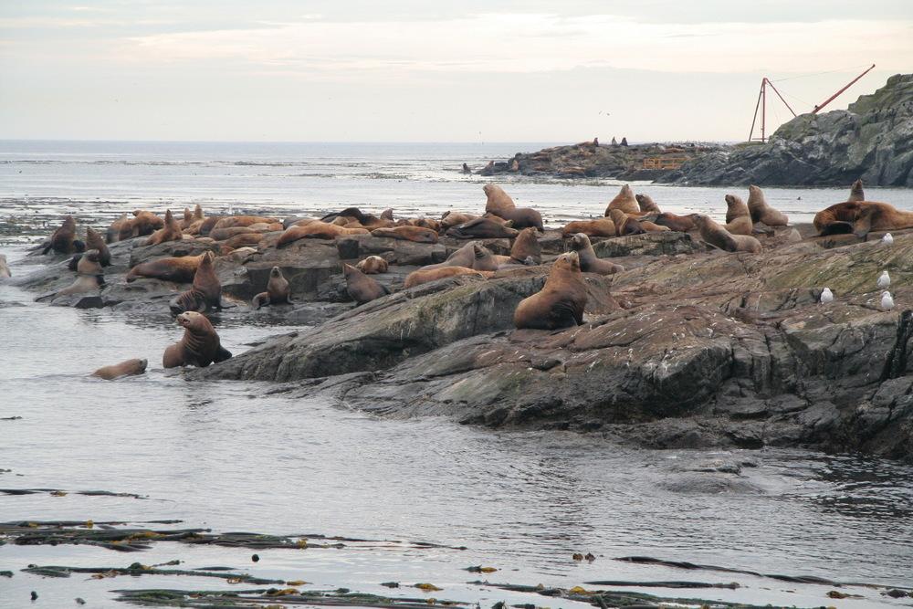 Phoques et lions de mer...
