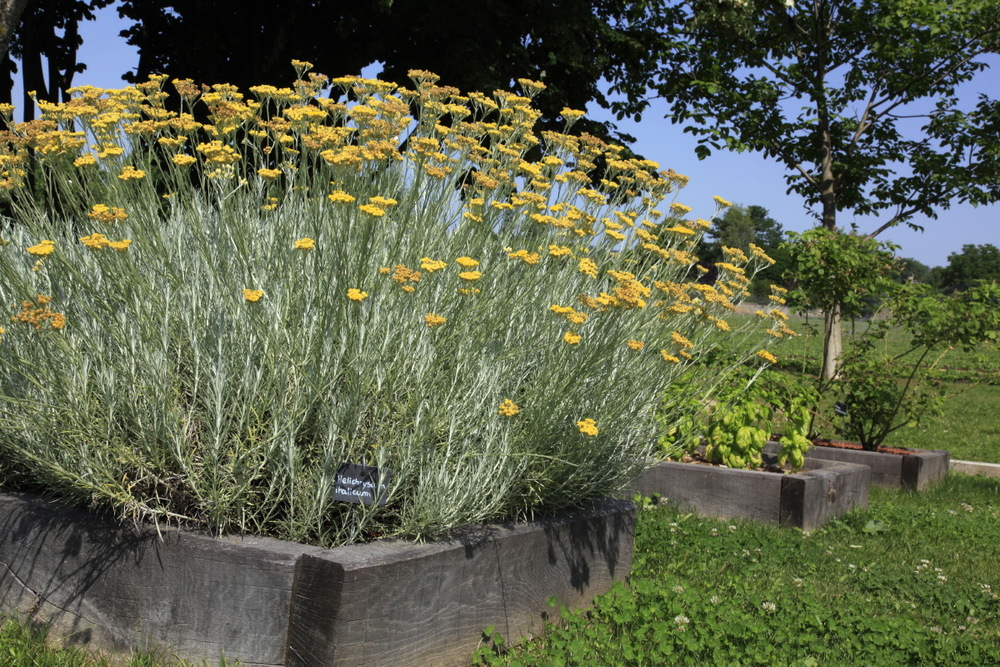 Hélicryses italiennes à l'institut des Huiles essentielles (Florame)