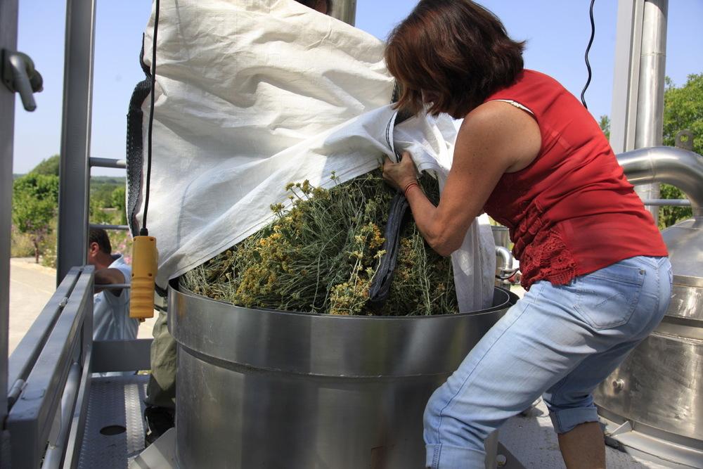Distillation de la précieuse hélicryse italienne à l'Institut des Huiles Essentielles (Florame) ©S.D
