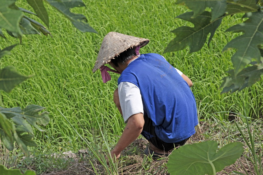 Dans les rizières autour de CanTho