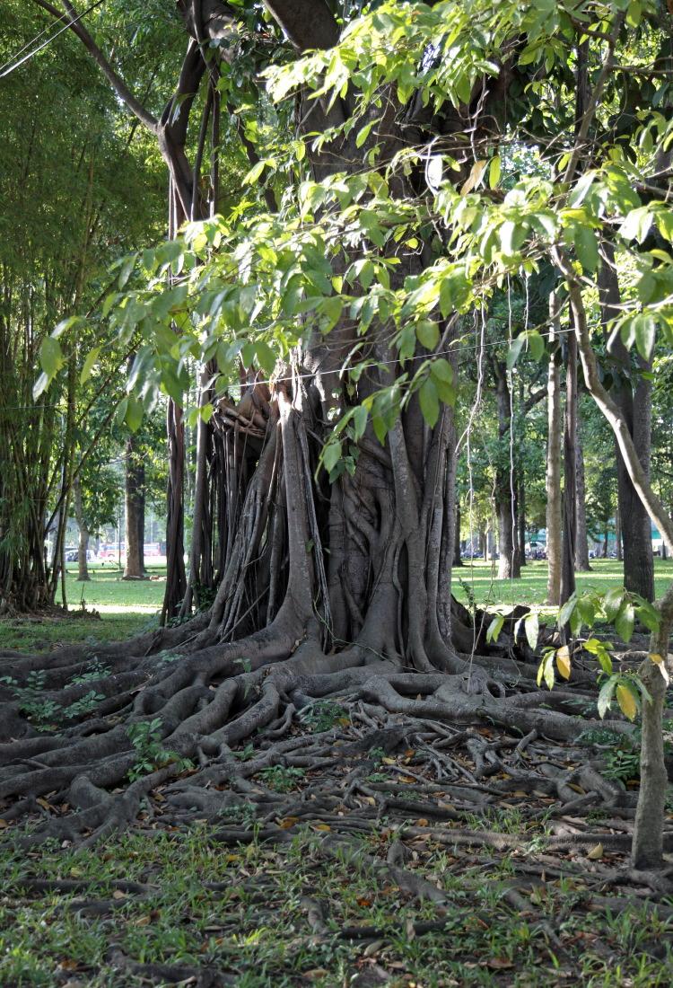 Vieux ficus-banian, havre de verdure et de paix en plein HCMV