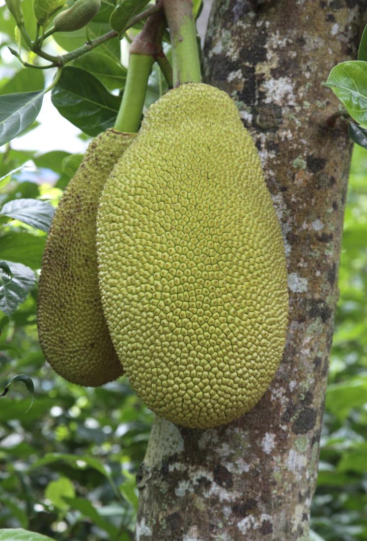 Jacquier et ses fruits, îlot de TanPhong