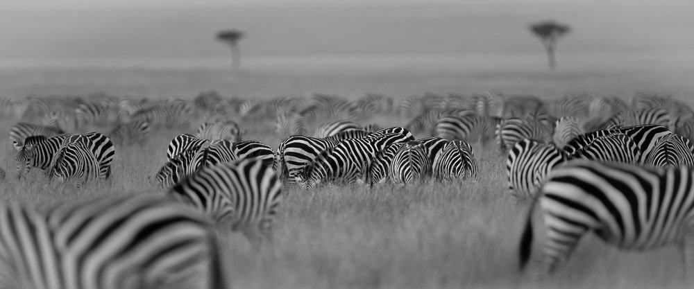 Zebra begin to gather on the Topi Plains in the Masai Mara...