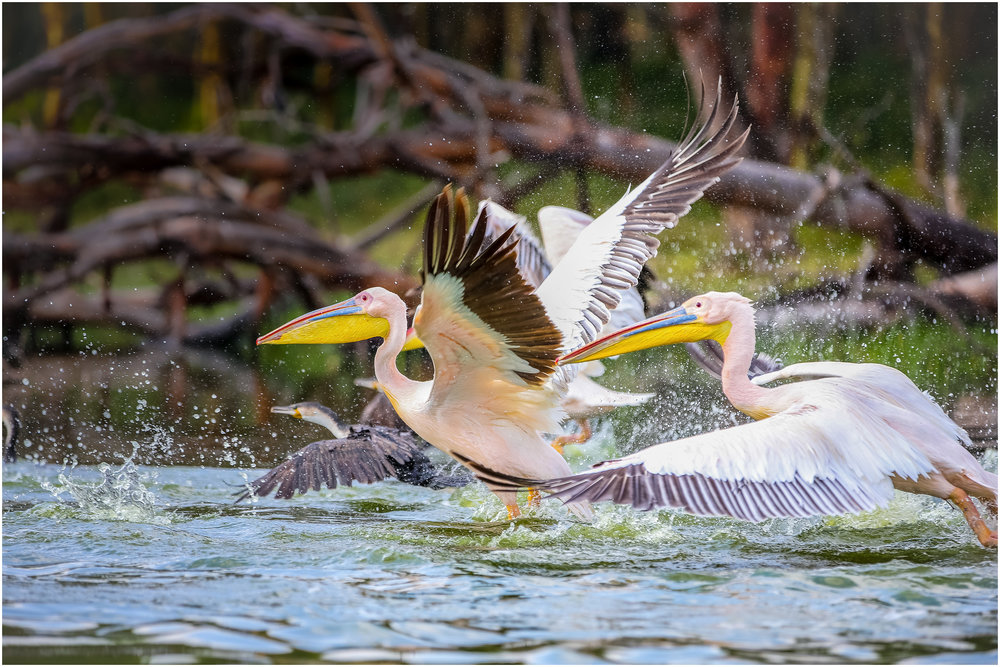 'Flight of the Pelicans'… Great White Pelicans taking flight…