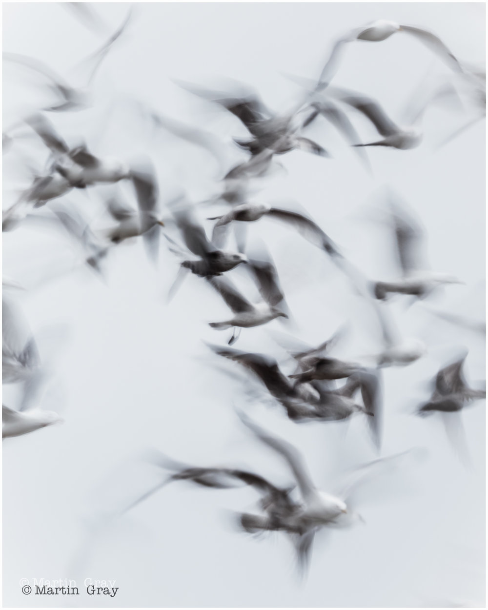 'Gulls in Motion' …    Guernsey Eisteddfod 2019 - Honours in Nature Projected Digital Image.