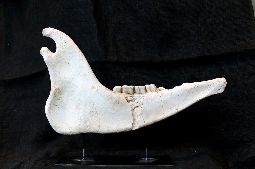 botifalusmandible300b.JPG