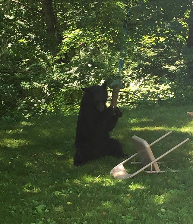 CT backyard bear this morning (for @disendj )