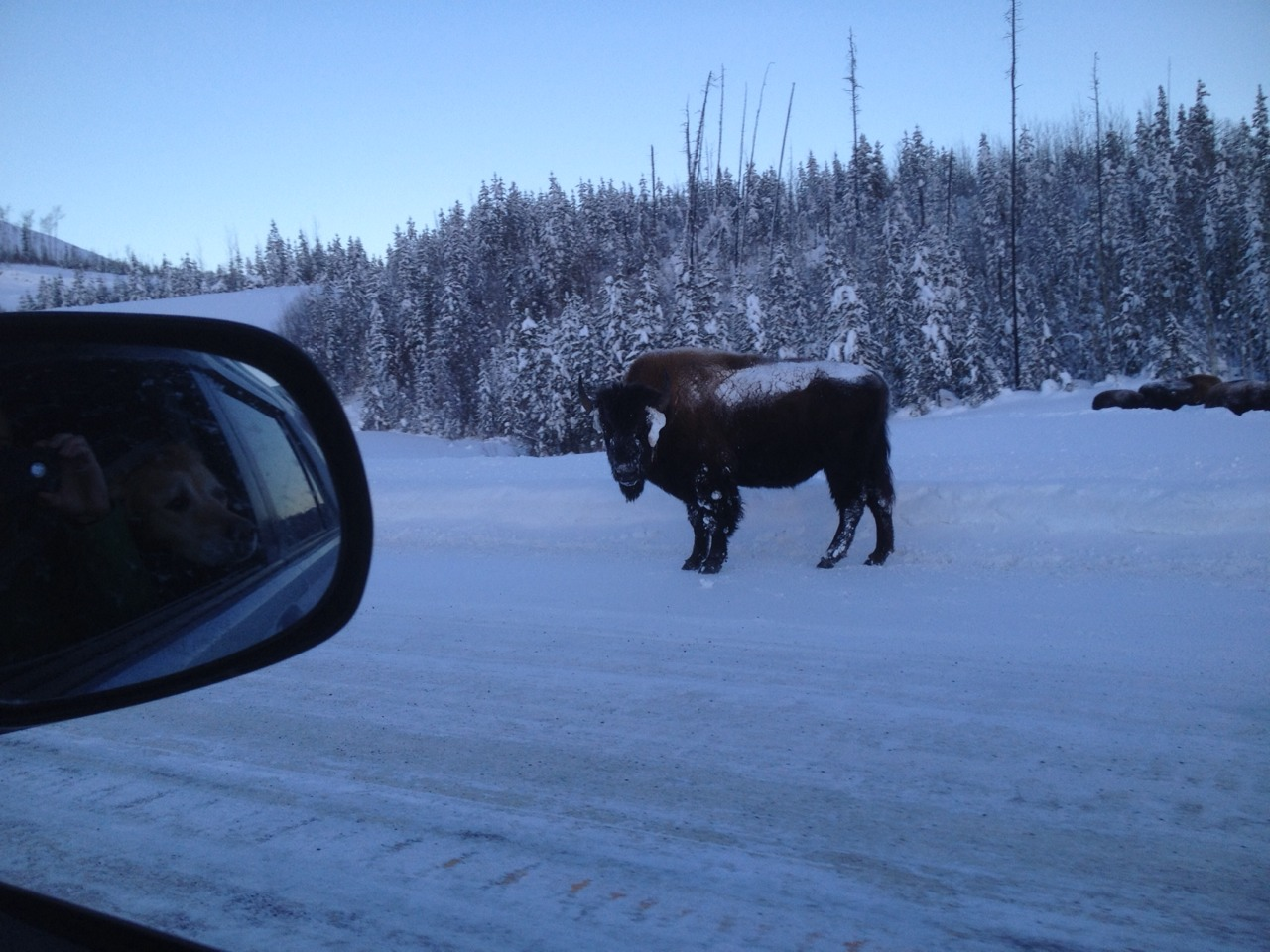 Kilometre 771 - some bison on the road