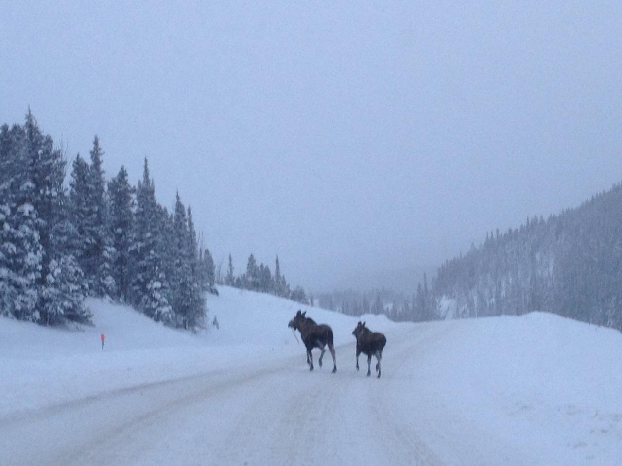 Moose using the Alaska Highway at kilometre 591.