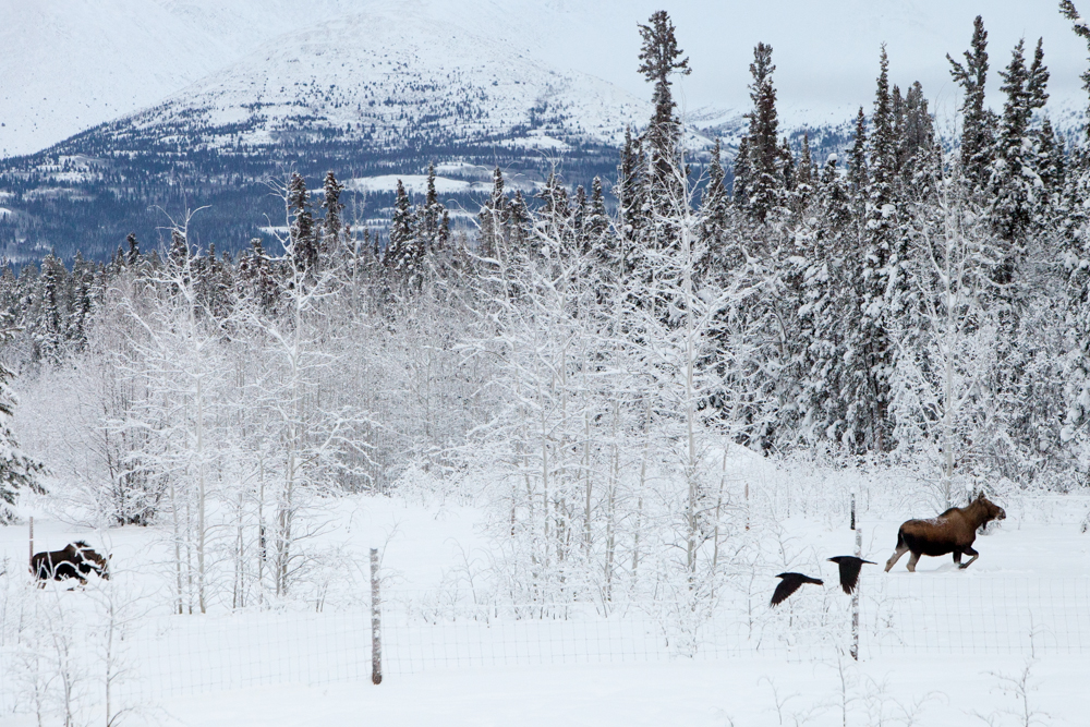 Its not every day you see a moose in your backyard, let alone a pair of them, and throw in some ravens for effect.