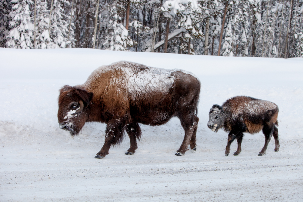 Here is a bison and a calf on the road. When they travel through the deep snow they leave huge trenches in their wake. I imagine the road is much less effort.