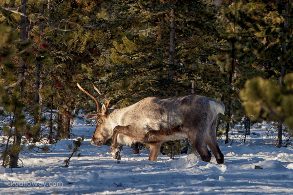A caribou on Annie Lake Road in Whitehorse, Yukon. Photo by Christa Galloway.