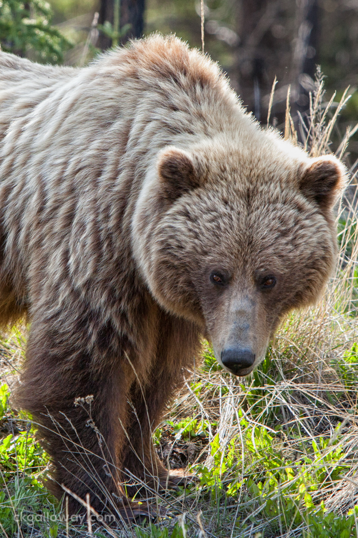 A grizzly bear south of Whitehorse, Yukon.  Photo by Christa Galloway.