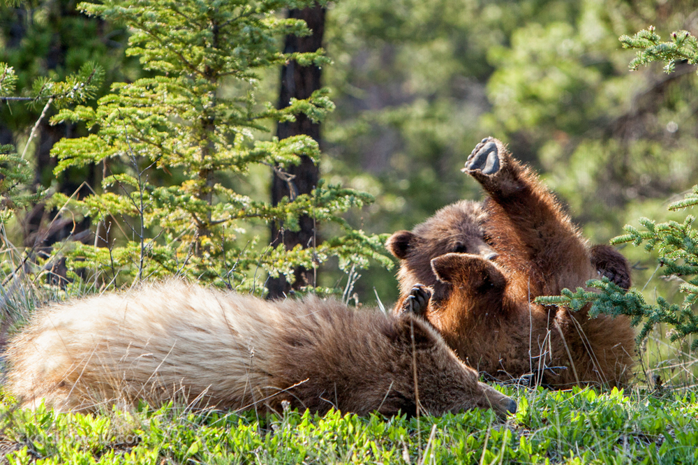 Grizzy (brown) bear cubs playing in the woods in the Yukon.  Photo by Christa Galloway.